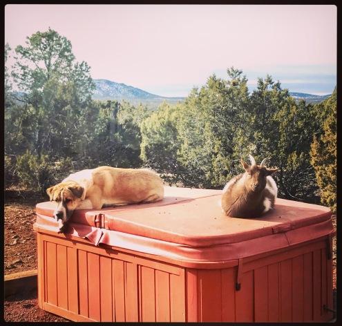 Goats who like to hot tub